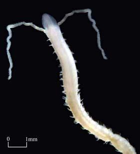 Family Magelonidae